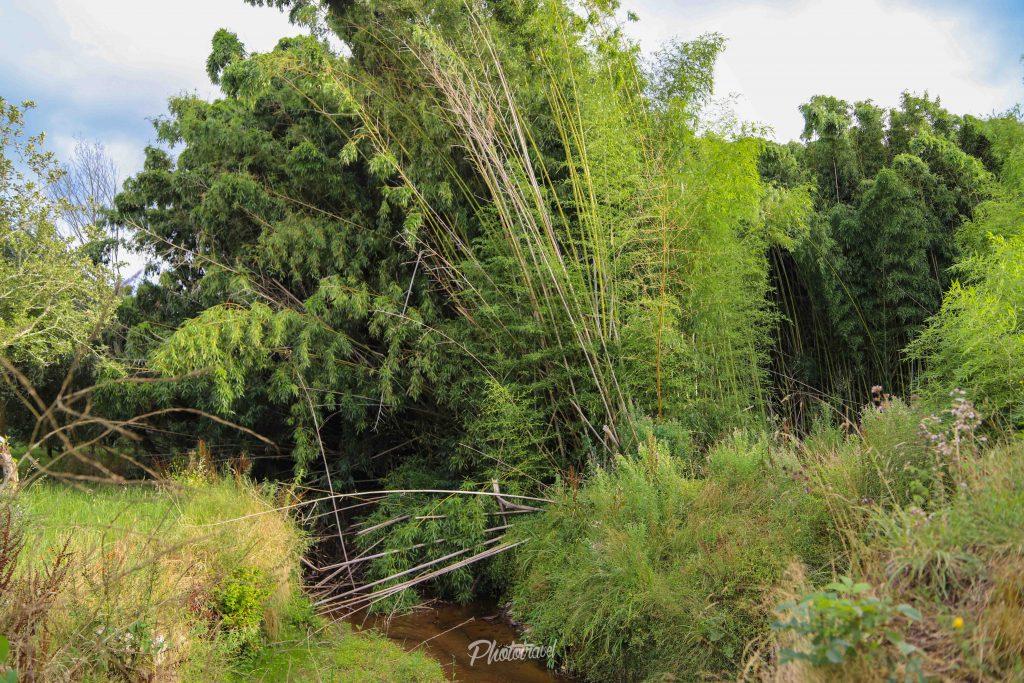 bosque de bambu en asturias